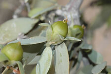 Jojoba or Goatnut Drought/Frost Hardy seed Edible Nut - Simmondsia chinensis