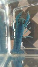 Two (2) Male Electric Blue Crayfish; live fish crawfish crawdad lobster