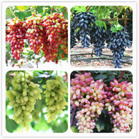 50 PCS Seeds Gold Finger Grape Bonsai Organic Fruit Excellent Quality Garden NEW