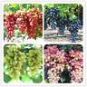 50 PCS Seeds Gold Finger Grape Bonsai Organic Fruit Excellent Quality Garden NEW