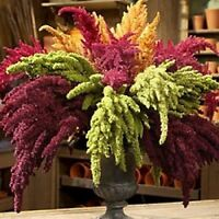 PYGMY TORCH SEEDS EDIBLE FLOWERS GARDEN POT PATIO AMARANTHUS SEED 100 SEED PACK