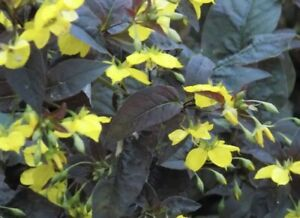 6 X Lysimachia Firecracker, hardy perennial - cottage garden, Bare Root Plants