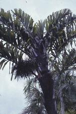 Wallichia oblongifolia   Dwarf Wallichs Fishtail Himalayan Palm   20_Seeds