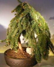 BIRRA piangente ABETE! RARO Hardy Albero! IDEALE per giardini o un piangente bonsai!