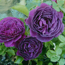 """Ebb Tide Rose Bush Fragrant Purple Flowers Potted 5"""" x 2.5"""" Container Own Root"""