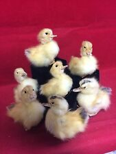 1 TAXIDERMY LONG ISLAND Dmstc (NAT Death) BABY DUCK-Duckling-Bird