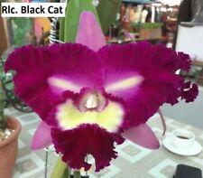 MOS. Orchid Cattleya Rlc. Black Cat (mericlone)