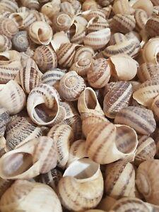 Shells- 140 Large Escargot/Snails Shells for Shelldwelling Cichlids / Tank Decor