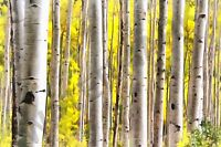 PHOTO PAINTING  BIRCH TREE FOREST GIANT WALL POSTER ART PRINT LLF0750