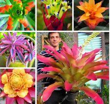 New giant bromeliad, 50pcs bromeliad rare seeds, vibrant turquoise blooms