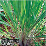 Lemon Grass Cymbopogon citratus LIVE PLANT lemongrass - Culinary cooking