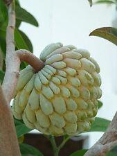 50 Graines de POMME CANNELLE (Annona squamosa) SUGAR APPLE Seeds
