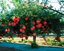 Rare Punica Granatum Bonsai, Sweet Organic Pomegranate 20 seeds