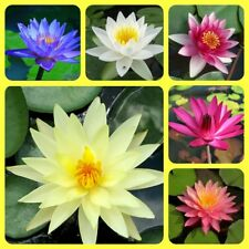 Water Lily seeds Mixed colors Nymphaeaceae New Water Pond Plant up to 80 Seeds