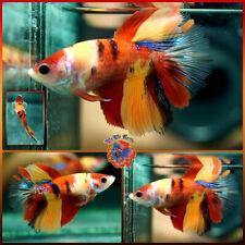 New listing Live Betta Fish Female 'Big Mama' Blue Galaxy Nemo Tiger Koi Rosetail Halfmoon