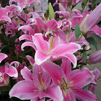 Lots 50 Pink Rare Lily Flower Seeds Planting Flower Lilium Perfume Garden Decor