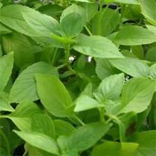 Basil - Lemon Herb Seeds - Bulk