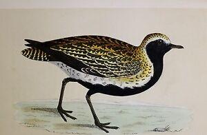 +c1875 ANTIQUE PRINT ~ GOLDEN PLOVER HAND COLOURED British Birds Morris
