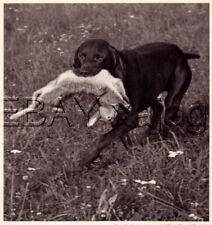 Dog German Shorthaired Pointer Solid Color, Quality Vintage 1941 Print