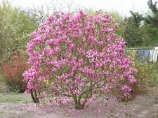 Magnolia Liliiflora Shrub Bush Seeds, Mulan Tulip Lily Flower Magnolia, USA