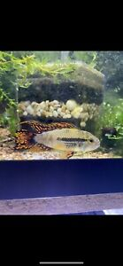 1 Pair Cacatuoides Triple Red Dwarf Cichlid Live Tropical Fish