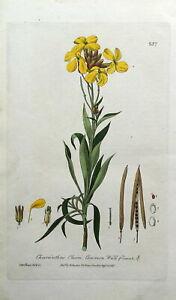 WALLFLOWER CHEIRANTHUS CHEIRI Baxter Antique Engraved Botanical Print 1837