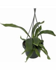 """Staghorn Fern 6.5"""" Hanging Pot Plant Exotic Live Houseplant Flowers Best Gift"""