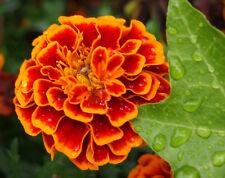 Heirloom 300 Seeds Tagetes patula African Dwarf Marigold Signet Pot Orange Red