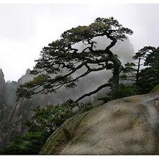50 Chinese Red Pine Tree Seeds, Pinus Tabulaeformis