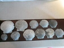11 Scallop Sea Shell Fossils Found In N.Florida Over 50 Years Ago