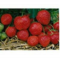 STRAWBERRY PLANTS  CAMBRIDGE FAVOURITE    BARE ROOTED TOP GRADE