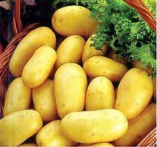 "Seeds Potatoes ""Empress"" early variety.  Solanum tuberosum  from Ukraine"