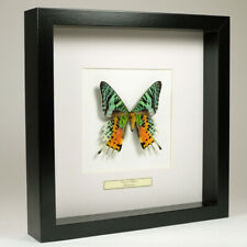 Real taxidermy butterfly mounted in black wooden frame - Urania Ripheus
