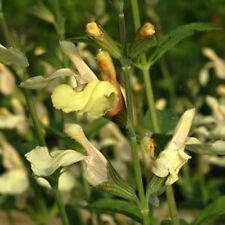 2x YELLOW JAMENSIS Salvia long blooming soft-butter flowers plants in 100mm pots