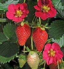 "STRAWBERRY ""TOSCANA""  100+ seeds"