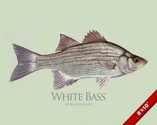 WHITE BASS FISH PAINTING AMERICAN FRESHWATER FISHING ART REAL CANVAS PRINT
