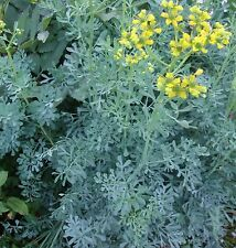 JACKMANS BLUE RUE Ruta graveolens, repel cats herb plant in 100mm pot
