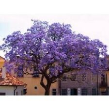 25+ PERENNIAL EMPRESS SEEDS / WORLD'S FASTEST GROWING TREE / PAULOWNIA TOMENTOSA