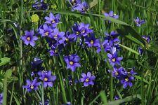 250 Seeds Blue Eyed Grass Seeds ( Sisyrinchium bellum )