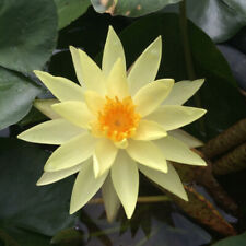 Mature Water Lily Pond Plant Yellow Joey Tomahawk