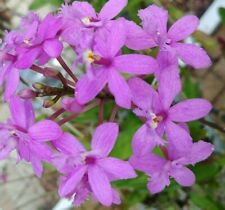 Lt. Purple Epidendrum Orchids rooted cutting; Freshly cut from Mother plant