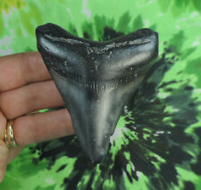 Megalodon Sharks Tooth  3 3/8'' inch NO RESTORATIONS fossil sharks teeth tooth