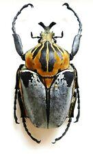 Cetoniinae: GOLIATHUS CACICUS MALE. Cote d'Ivoire. VERY RARE!!