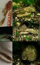 15+green dragon/super red calico mix baby bushynos plecos long/shortfin aquarium