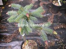 "Rare Spruce 4yr ""Early Cones"""