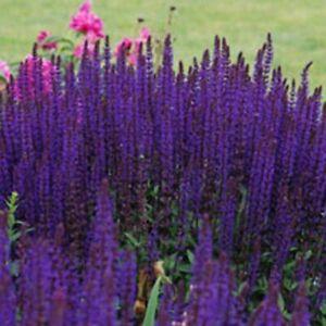 Salvia nemerosa Caradonna Balkan clary Young Plant in 9cm Pot  x 3 Pots/Plants