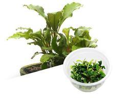 ADA bucephalandra sintang - Live Aquarium Plants In Vitro -