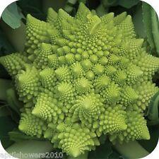 Broccoli Romanesco 125+ Seeds Superb Flavor Tender NONGMO