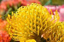 "PROTEA ""HIGH GOLD"" - Golden Yellow Pincushion.- Plants - Stunning blooms!"