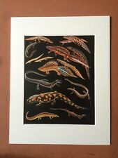 1968 Colourful Vintage Newt Print Amphibian Species Wildlife Zoology